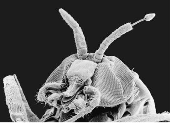 личинки паразитов в человека